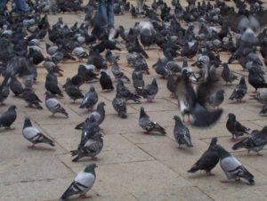 palomas urbanas