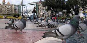 Palomas en la ciudad: un riesgo real para los humanos