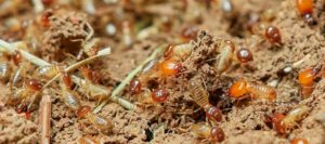 Cómo evitar que las termitas subterráneas destruyan nuestro hogar