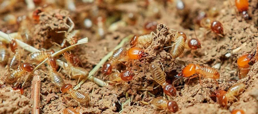 Las termitas de subterráneas