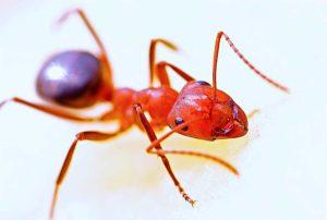 La hormiga de fuego: Una especie invasora muy peligrosa