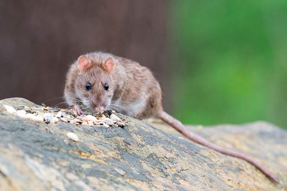 Las plagas de ratas: Un problema que debe atajarse cuanto antes