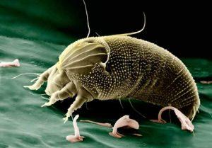 Los ácaros: Una plaga invisible y perniciosa para los humanos