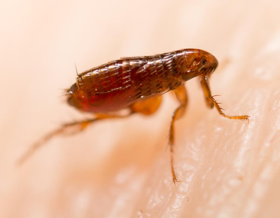 Una plaga de pulgas desata las alarmas en un hospital de Murcia