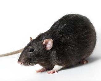 La rata negra llega a España
