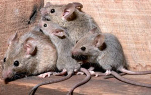 Ratas, cucarachas y chinches en las calles de Zaragoza