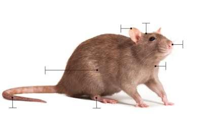 Los peligros de una rata en una casa