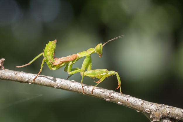 Todo sobre la mantis religiosa