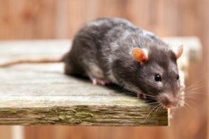 Llíria afectada por una plaga de ratas