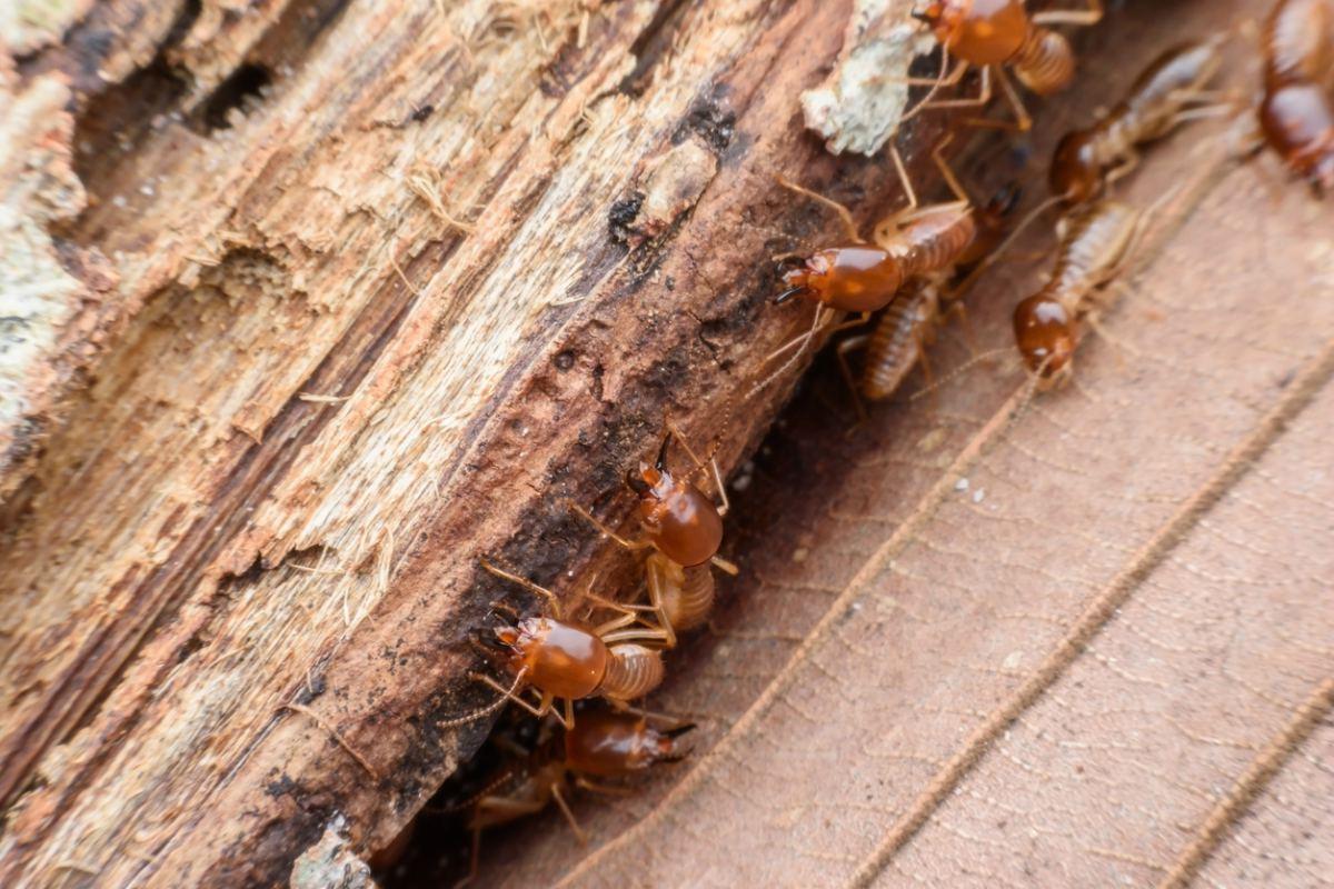 ¿Cómo eliminar termitas de la madera seca?