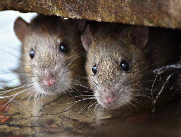 ¿Cuánto cobra un exterminador de ratones en Valencia?