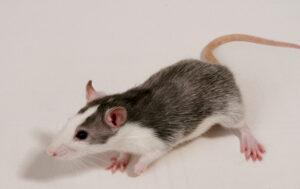 Eliminar Plagas de Ratas en Valencia